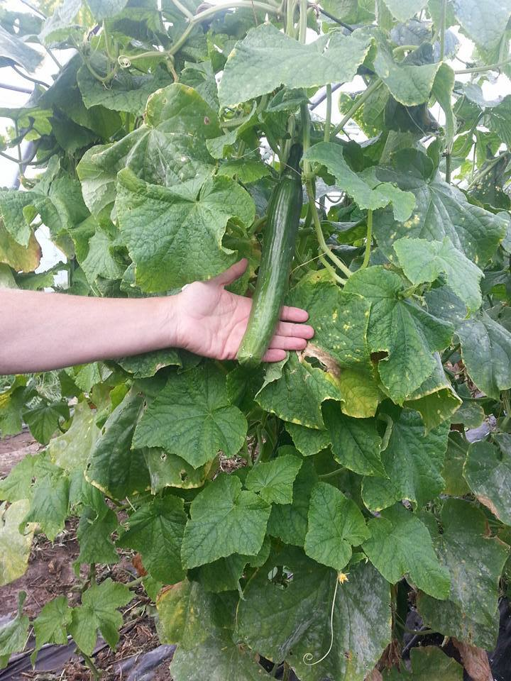 Organic Cucumber grown at our farm at Green Earth Organics