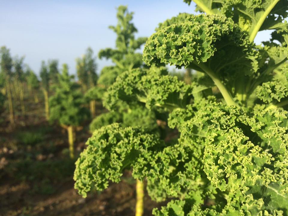 Fresh Organic Kale from our Farm in Galway