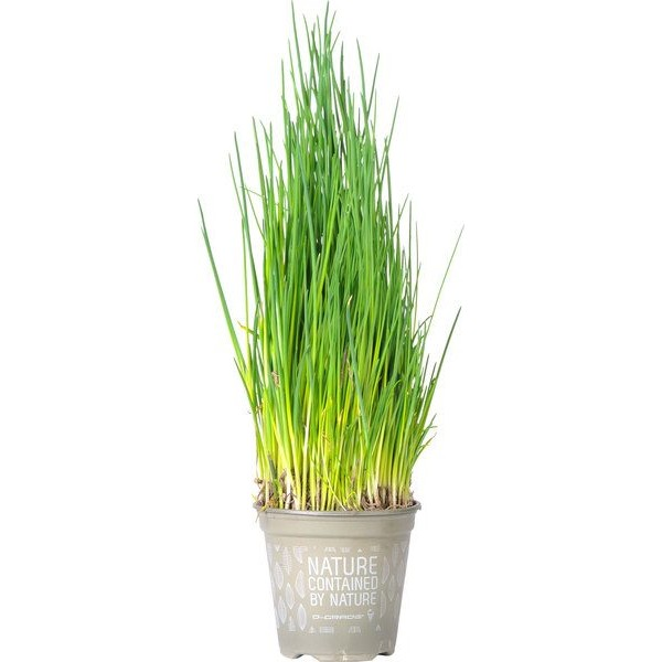 Chives Plant, 1pc [biodegradable pot]